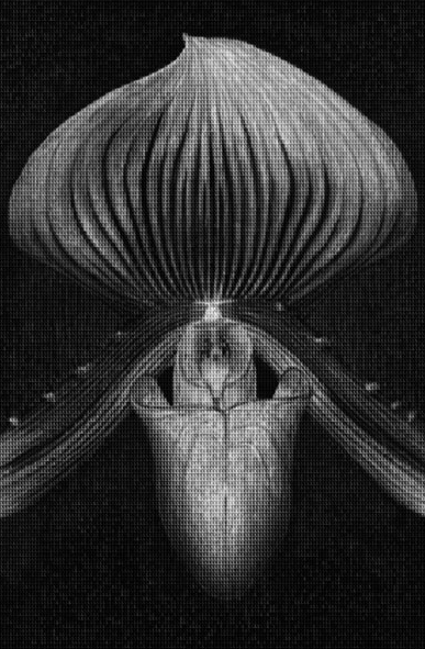 Orchids vs Mapplethorpe by Alex Guofeng Cao