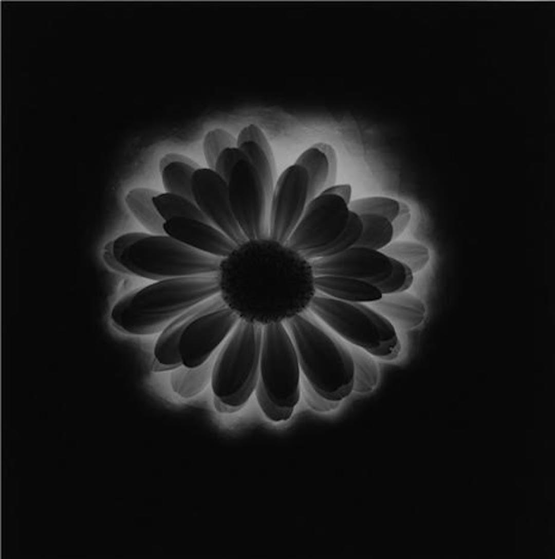Flower 1985 by Robert Mapplethorpe