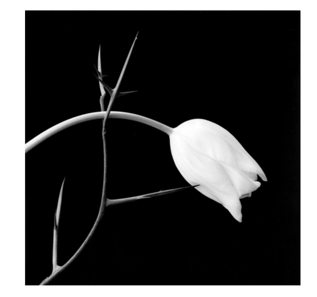 Tulip and Thorn by Robert Mapplethorpe